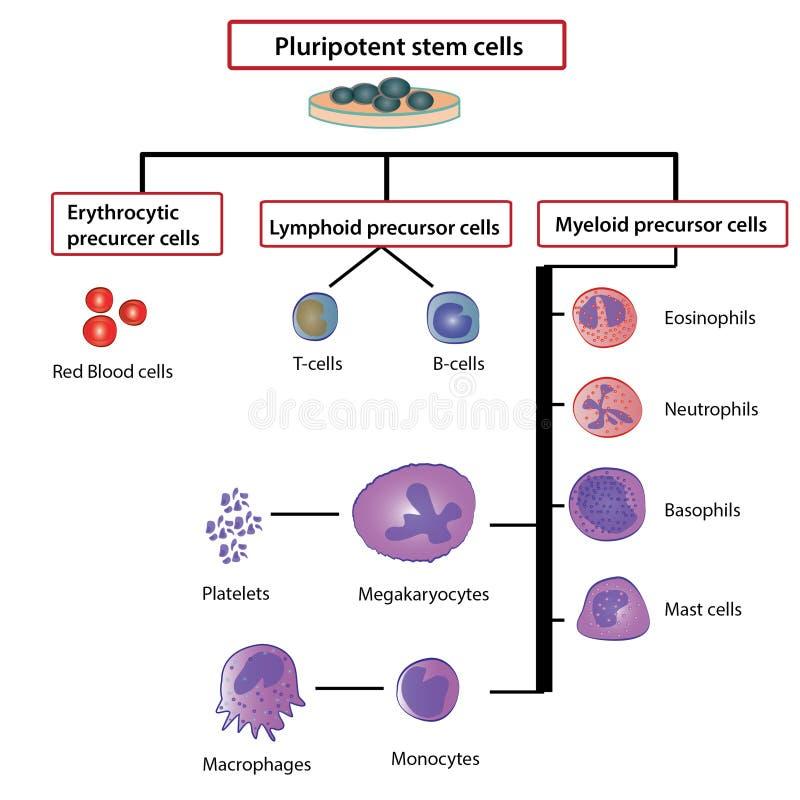 differentiation of blood cells stock illustration. Black Bedroom Furniture Sets. Home Design Ideas