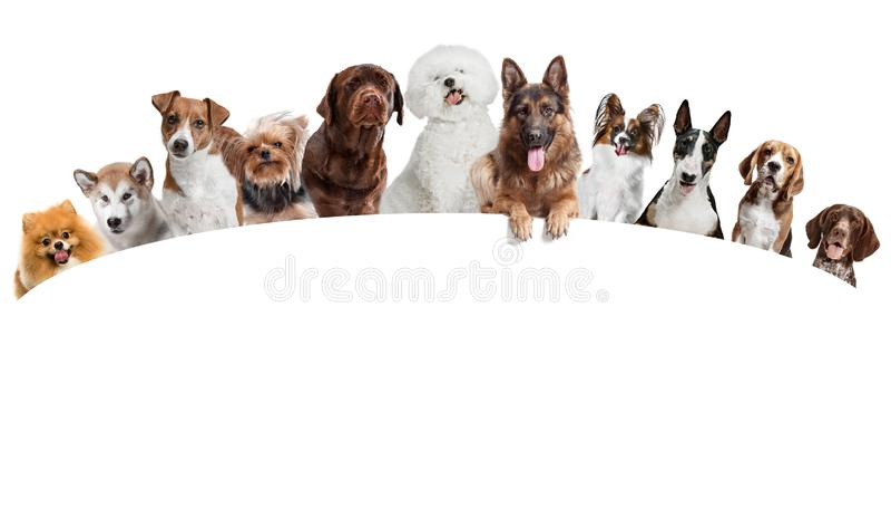 Differents hundkapplöpning som ser kameran som isoleras på en vit bakgrund fotografering för bildbyråer