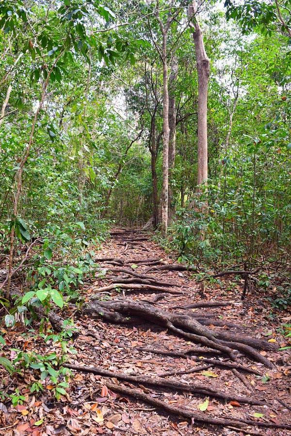 Difficuly道路-走的足迹通过有树根的热带森林在地面上的 免版税库存照片