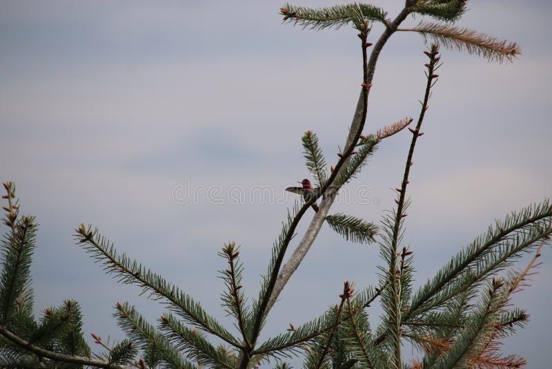 Diffusion d'ailes d'oiseau de ronflement photos libres de droits