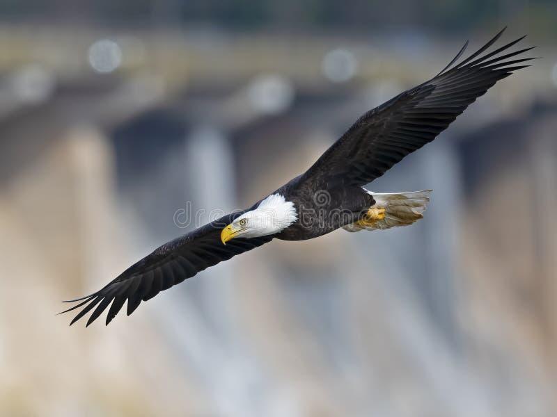 Diffusione delle ali di Eagle calvo in volo fotografia stock libera da diritti