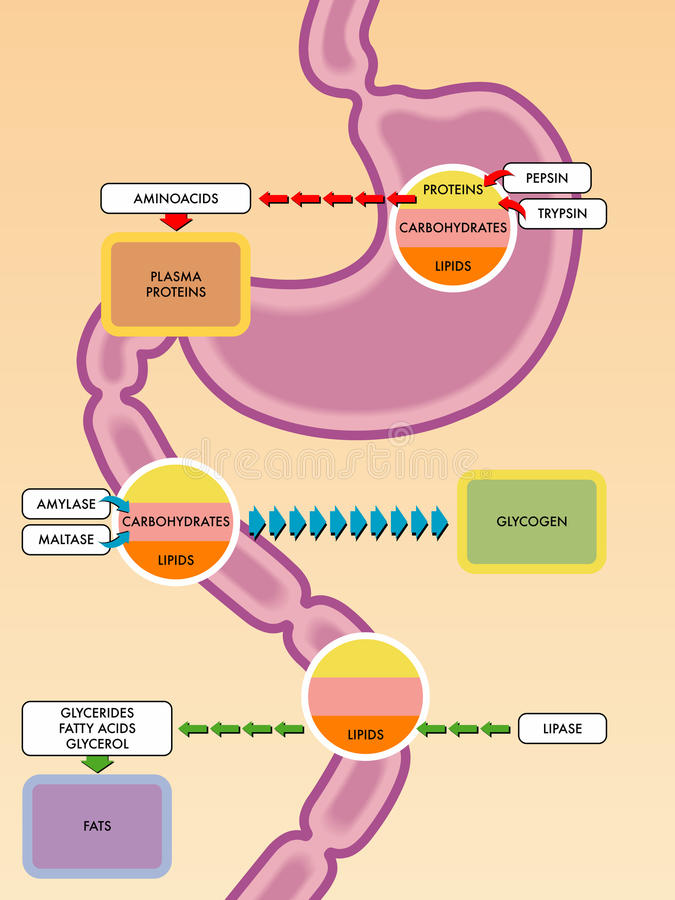 Digestive process. An illustration of the digestive tract and enzymes and molecules they react with royalty free illustration