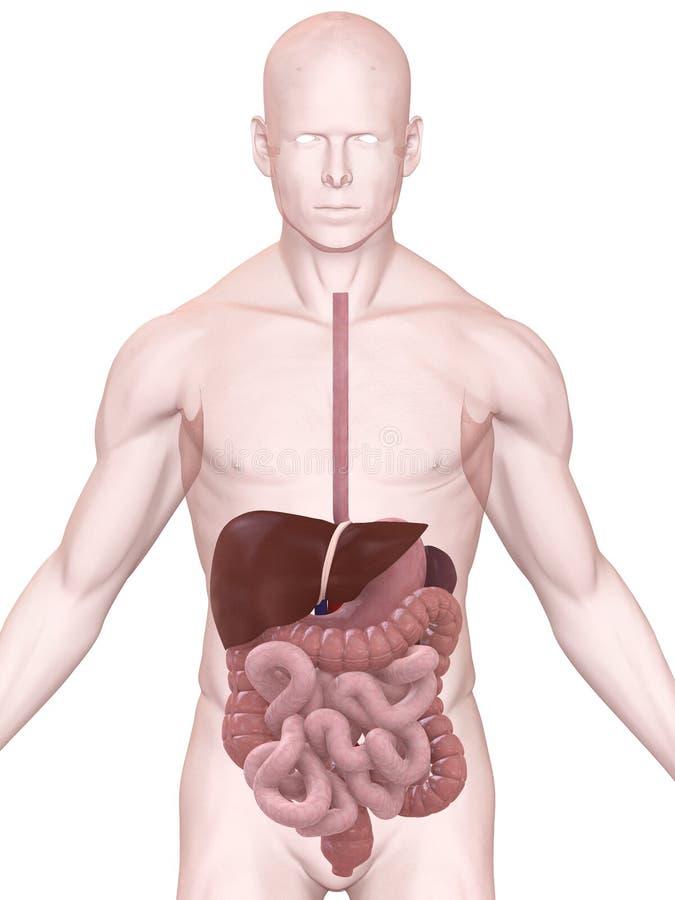 Digestive system royalty free illustration