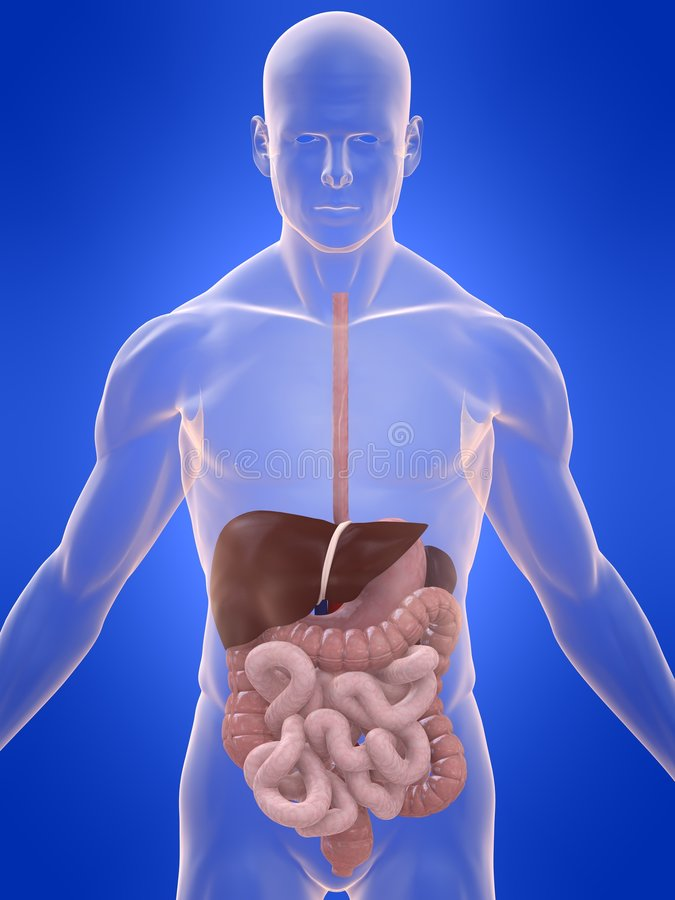 Free Digestive System Royalty Free Stock Photo - 7095545