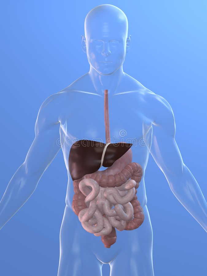 Digestive system royalty free stock photos