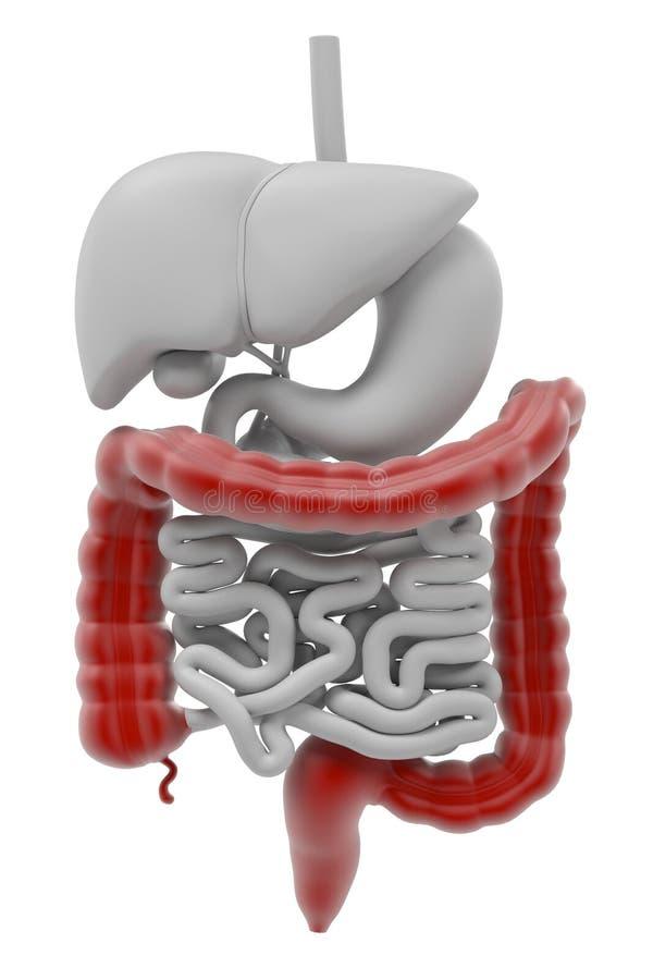 Digestive System Stock Illustration Illustration Of Gallbladder
