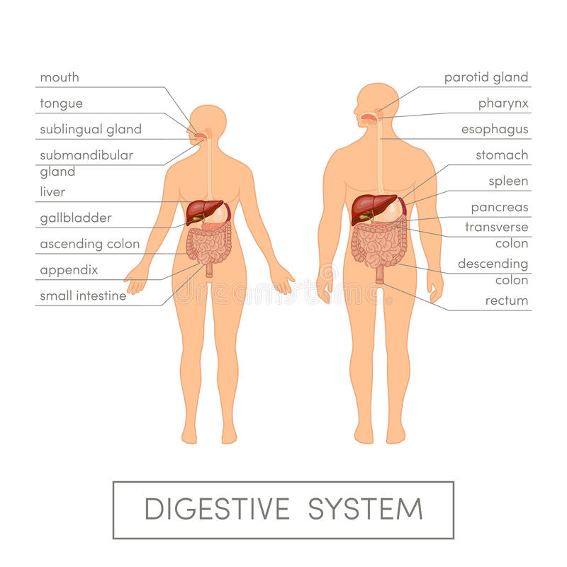 Digestive system stock illustration. Illustration of health - 61554635