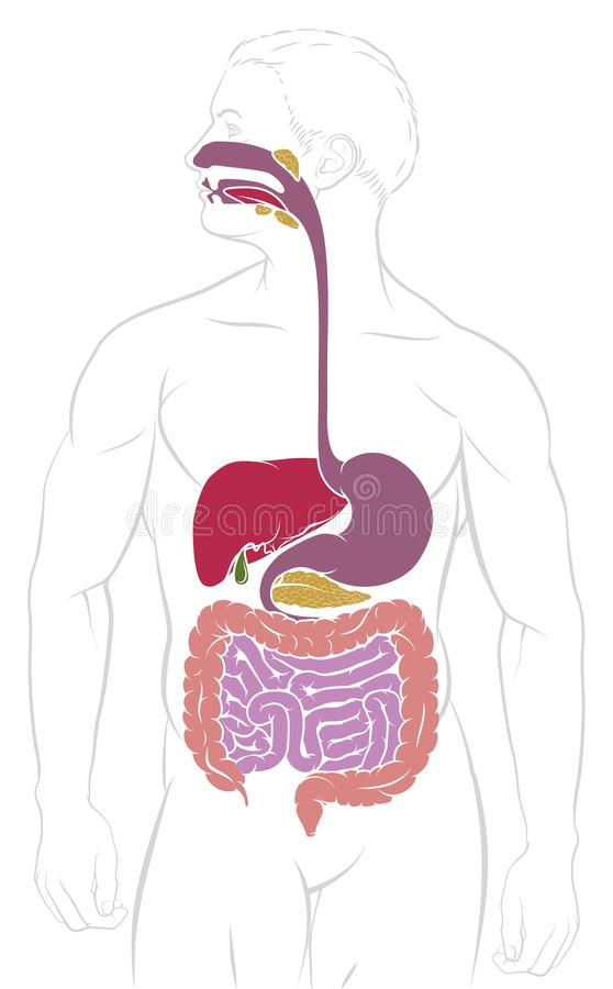 Digestive System Gastrointestinal Tract Diagram. Digestive system human gut gastrointestinal tract anatomy diagram stock illustration