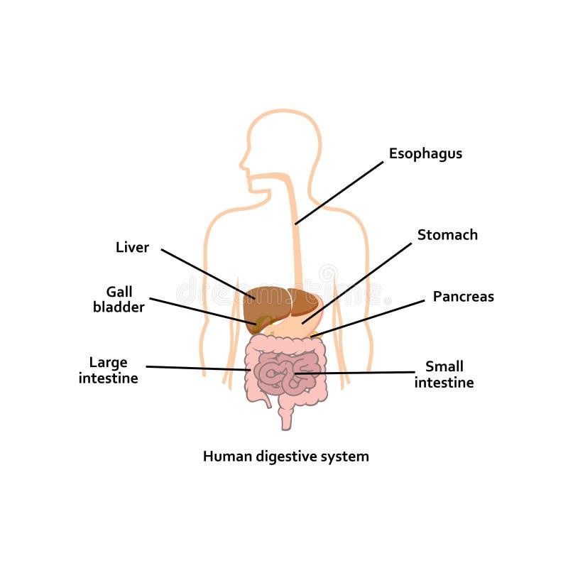 Digestive system. Human organs. vector illustration