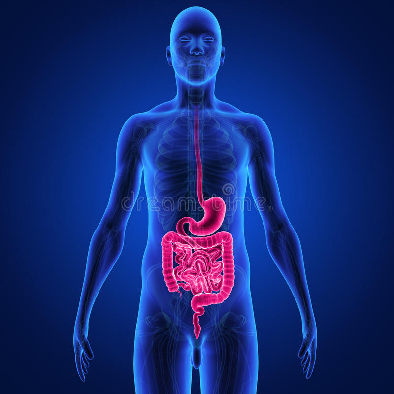 Digestive system stock illustration