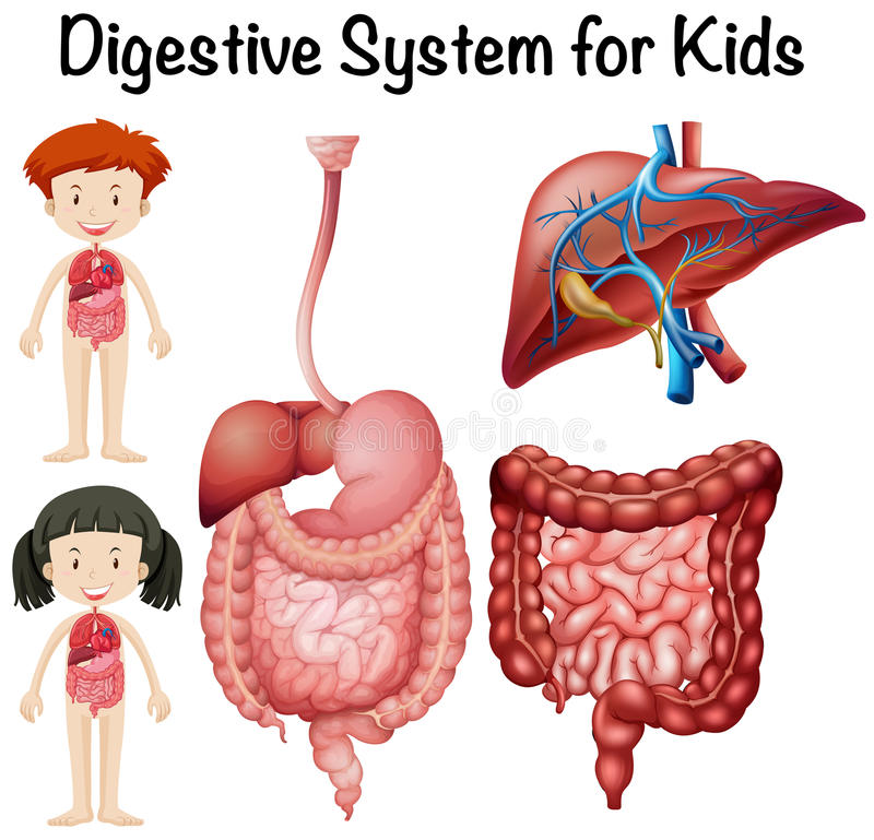 Digestive System For Kids Stock Vector Illustration Of Anatomy