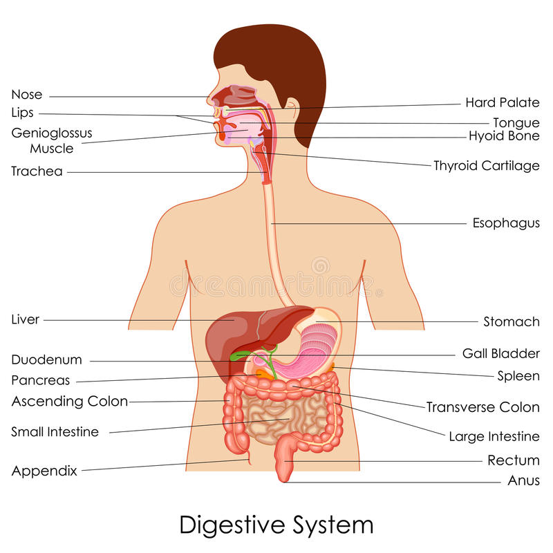 French Human Digestive System Diagram Labeled Find Wiring Diagram