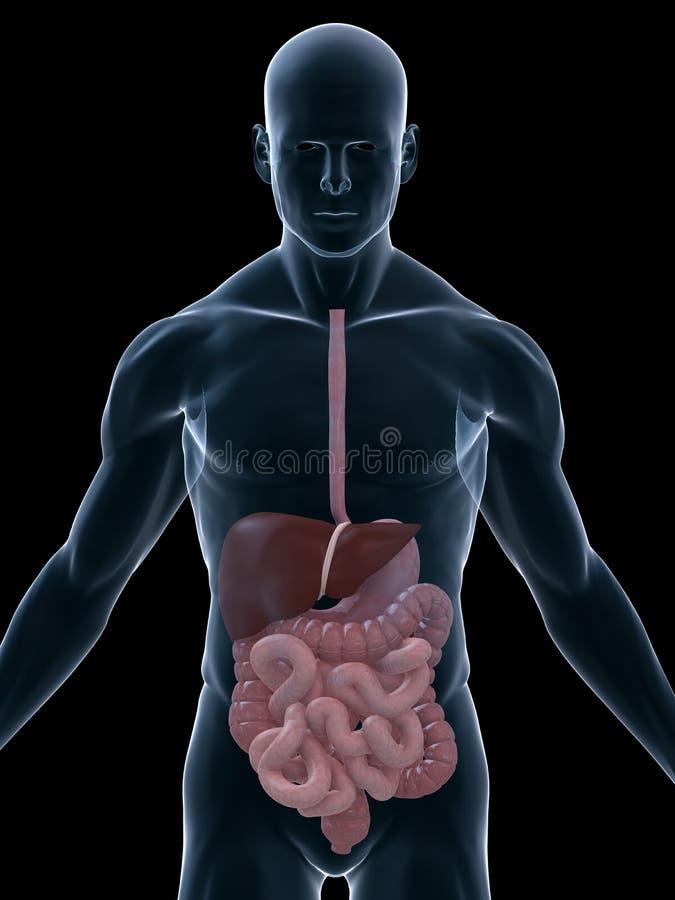 Digestive systems stock illustration