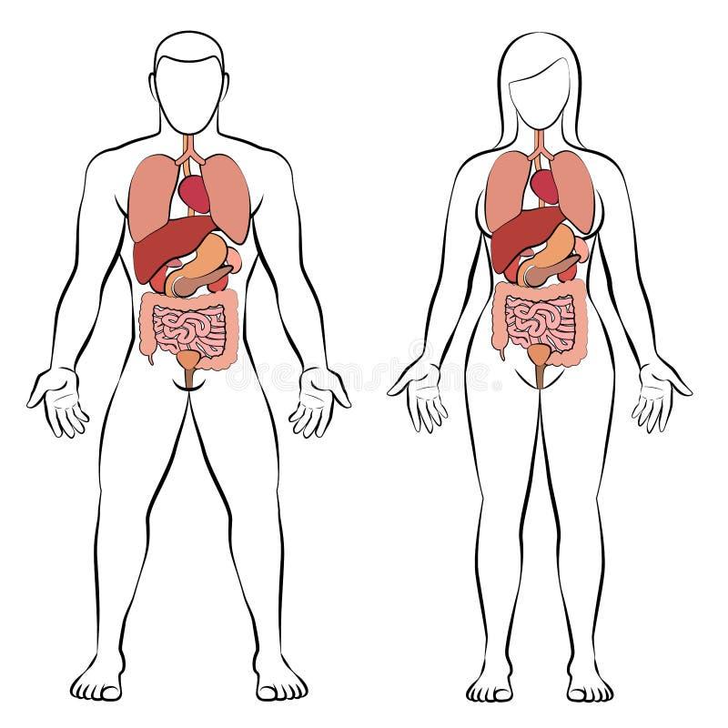 Digestive Tract Internal Organs Man Woman Couple. Digestive tract with internal organs, male and female body - schematic human anatomy illustration - vector on vector illustration
