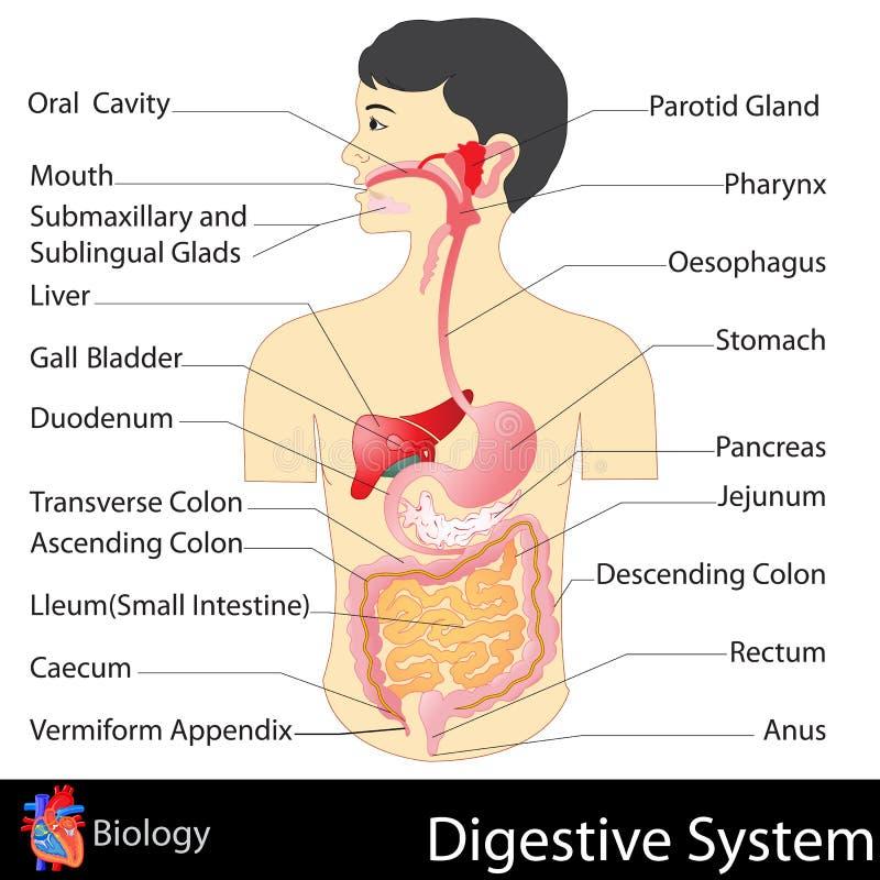 Digestivkexsystem stock illustrationer
