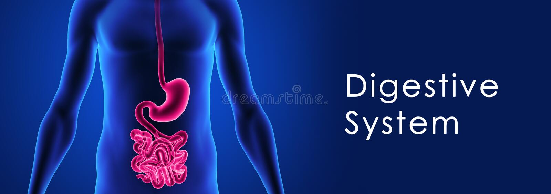 Digestivkexsystem vektor illustrationer