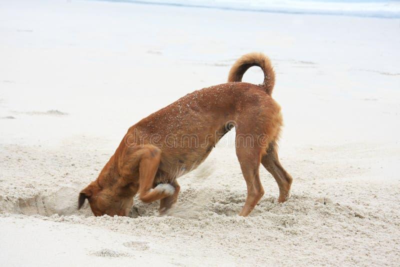 Digging dog stock photo