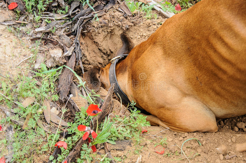 Digging dog, thrust the head into a hole. Sunlight stock photos