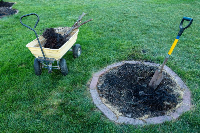 Digging out a dead tree for removal in a garden stock photography