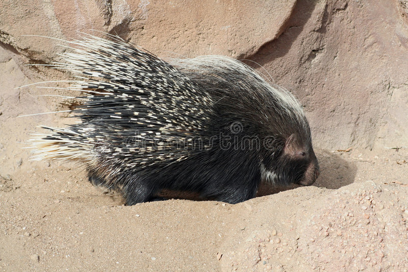 Digging Porcupine. A side view of a porcupine digging in the dirt stock photo