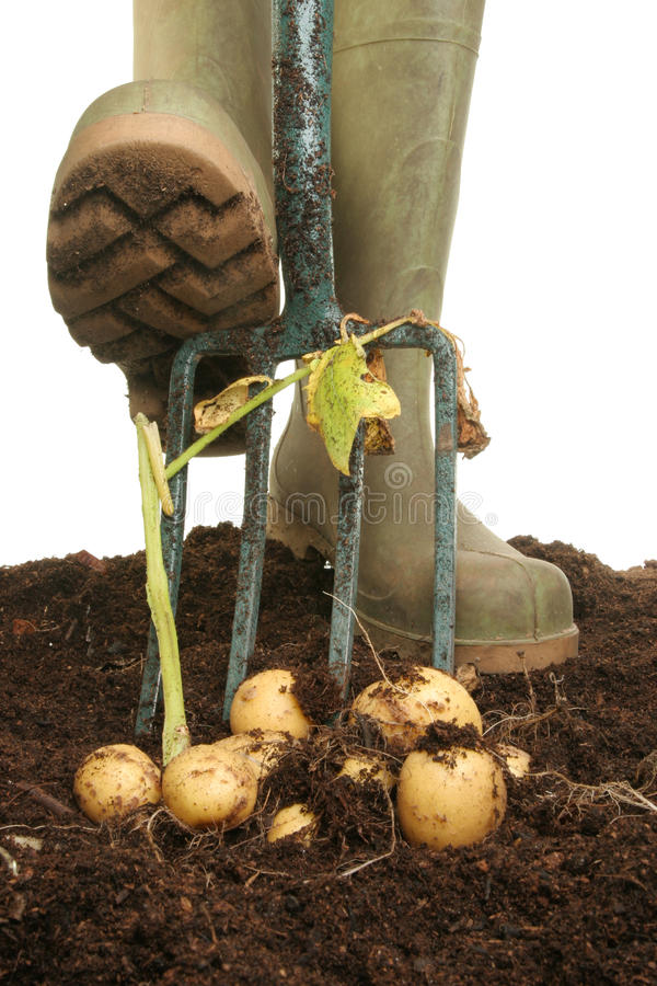 Digging for potatoes royalty free stock photo
