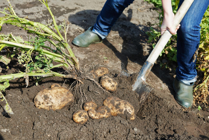Digging potatoes on the ground stock photo image of crop for Digging ground dream meaning