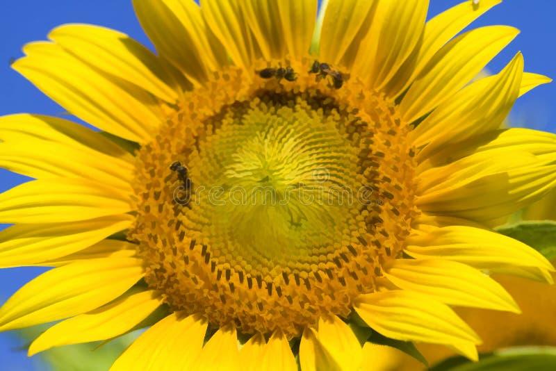 Digital gemalte goldene gelbe Sonnenblumen-Blüte stockbilder