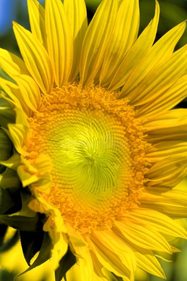 Digital gemalte goldene gelbe Sonnenblumen-Blüte lizenzfreies stockbild