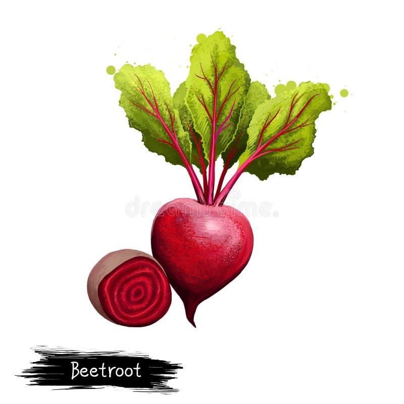 Digital illustration av utdragen rödbeta för hand, vulgaris för beta som isoleras på vit bakgrund Organisk sund mat r?d gr?nsak H vektor illustrationer