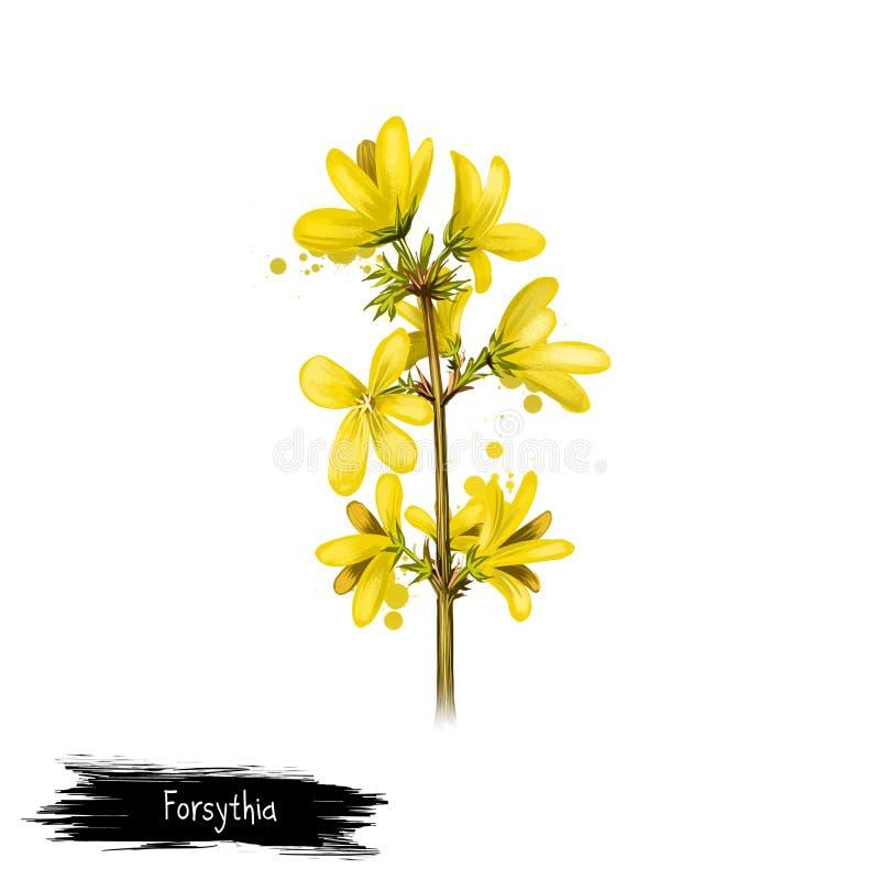 Digital konstillustration av forsythia som isoleras på vit Dragen hand blomma busken av Oleaceaefamiljen Färgrik botanisk tecknin stock illustrationer