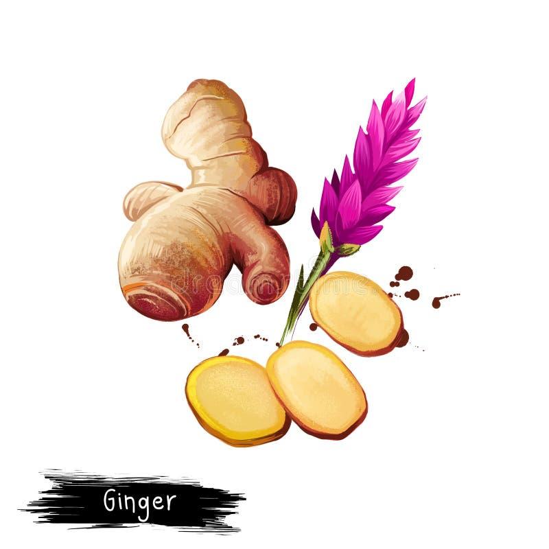 Digital konstillustration av ingefära- eller Zingiberofficinale som isoleras på vit bakgrund Organisk sund mat Gul gr?nsak vektor illustrationer