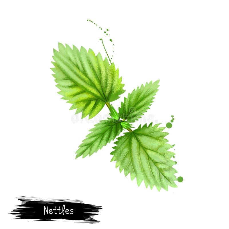 Digital-Kunst Nesseln, stechende Nessel oder Urtica dioica lokalisiert auf weißem Hintergrund Organisches gesundes Lebensmittel G vektor abbildung