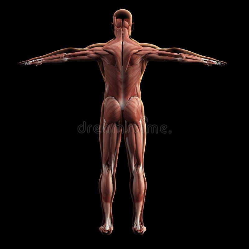 Digital model of muscular system, 3d rendering. Black background stock illustration