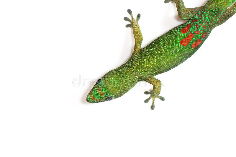 Digital Photography Background Of Green Hawaii Gecko Isolated On White stock photography