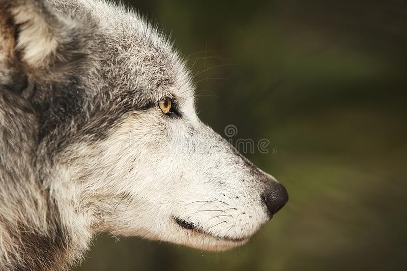 Digital Photography Background Of Grey Wolf Profile royalty free stock photo