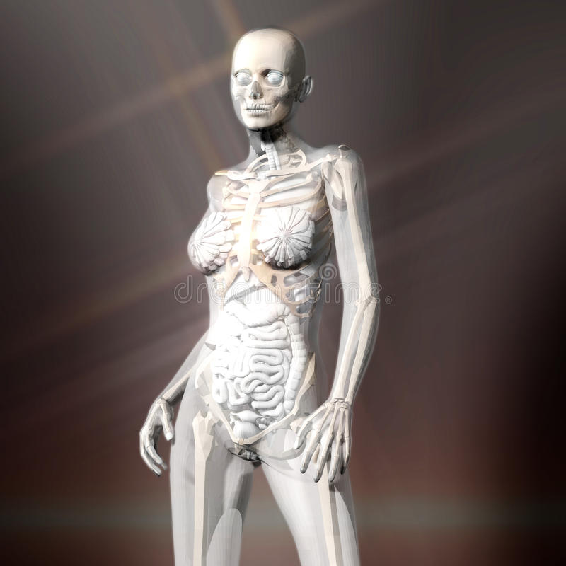 Download Digital Rendering Of The Female Human Anatomy Stock Illustration - Illustration of healthcare, organ: 88429016
