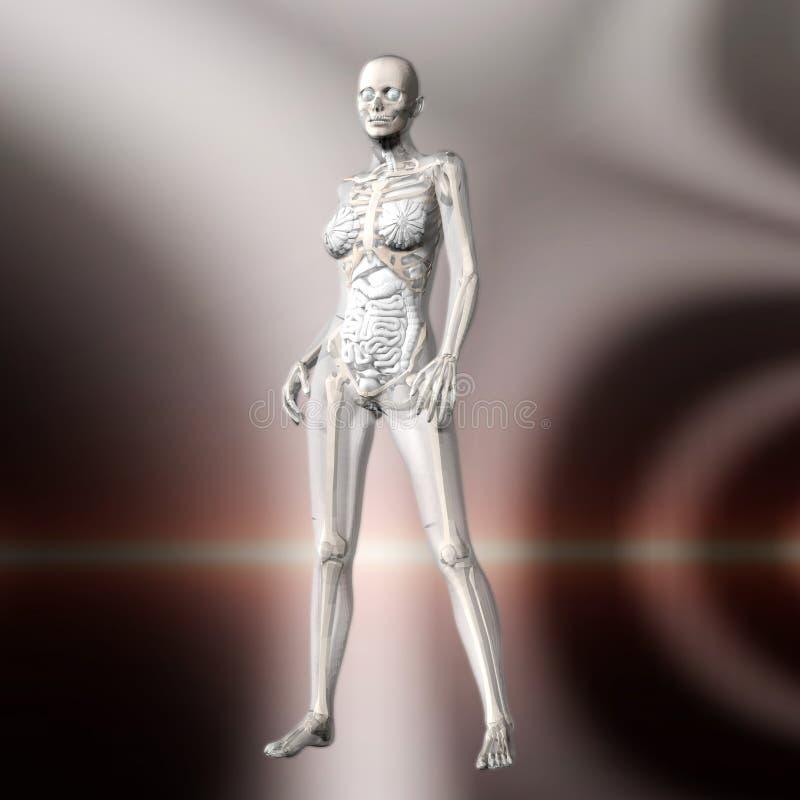 Download Digital Rendering Of The Female Human Anatomy Stock Illustration - Illustration: 88429288