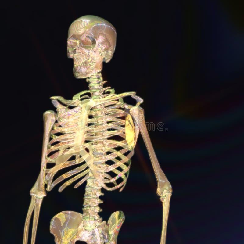 Download Digital Rendering Of A Human Skeleton Stock Illustration - Illustration of healthcare, generated: 88426894
