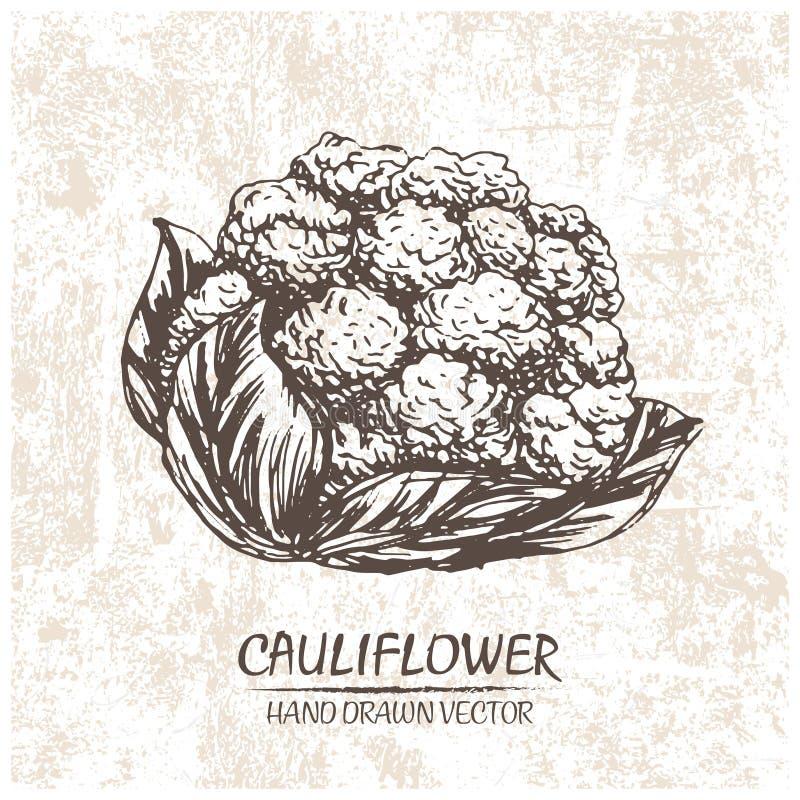 Digital vector cauliflower hand drawn illustration stock illustration