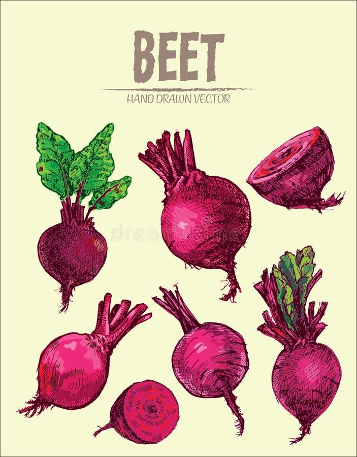 Digital vector detailed line art color beet. Vegetable hand drawn retro illustration collection set. Thin artistic pencil outline. Vintage ink flat style vector illustration