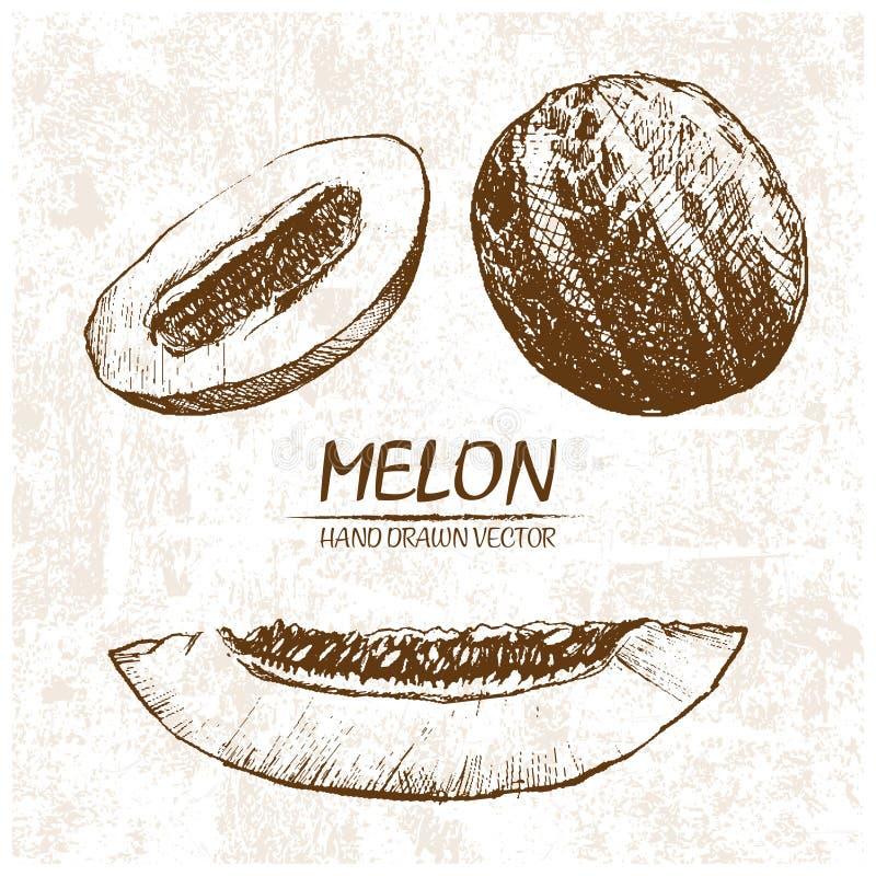 Digital vector detailed melon hand drawn stock illustration