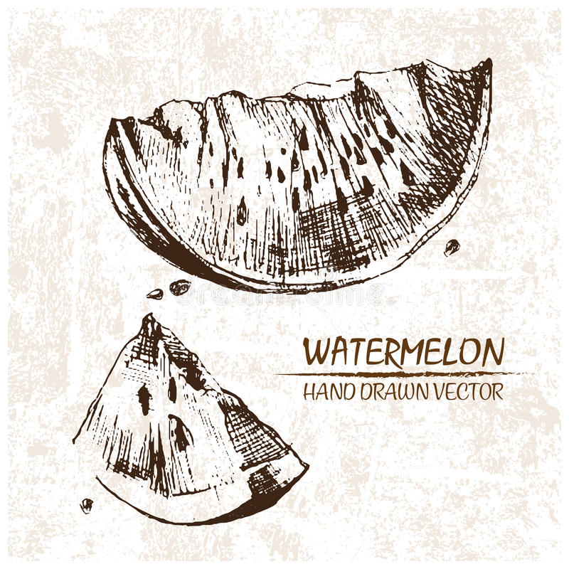 Digital vector detailed watermelon hand drawn royalty free illustration