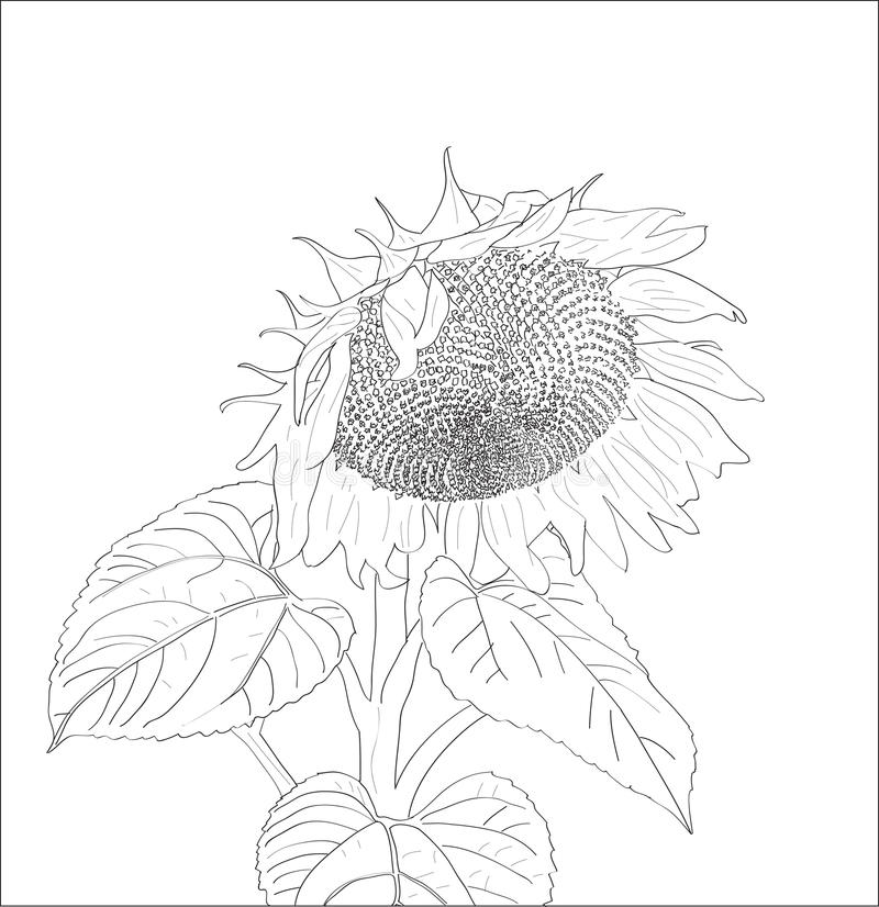 Digital vector sunflower close up. Isolated on white background simple icon, hand drawn line art, doodle flat style vector illustration