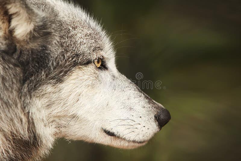 Digitale Fotografieachtergrond van Grey Wolf Profile royalty-vrije stock foto