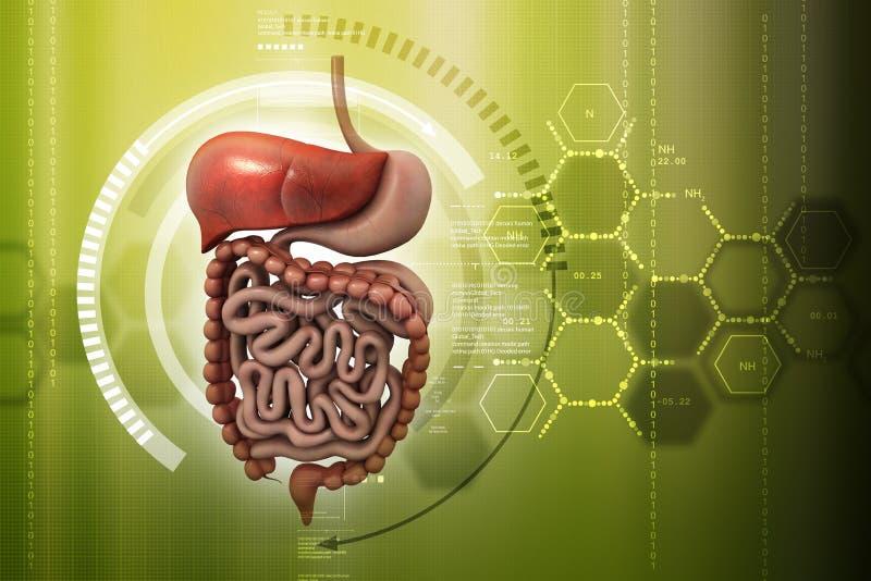 Digitale illustratie van Menselijk spijsverteringssysteem stock illustratie