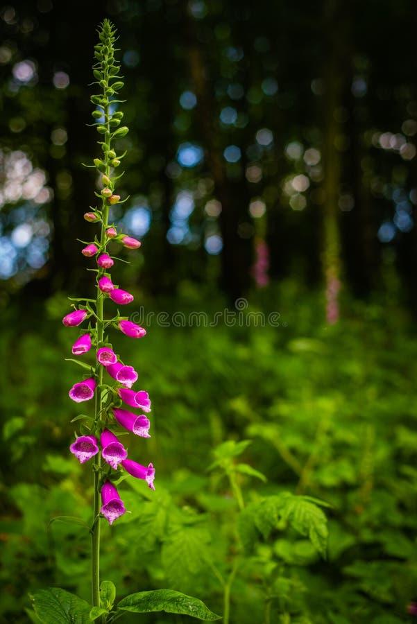 Digitale pourpre vibrante dans une forêt en Ecosse avec les feuilles vertes et le fond bleu de Bokeh images libres de droits