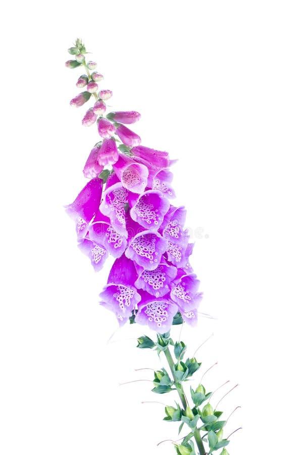 Digitalis of a garden on white. Flowering plant Digitalis isolated on white background stock image