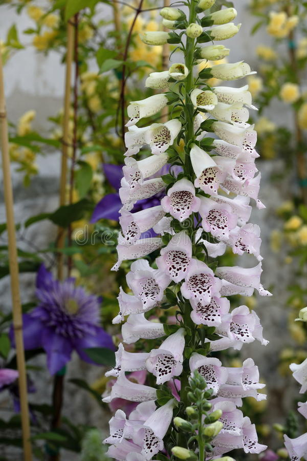 Digitalis plant. Bell-shaped flowers of a plant of digitalis plant stock photography