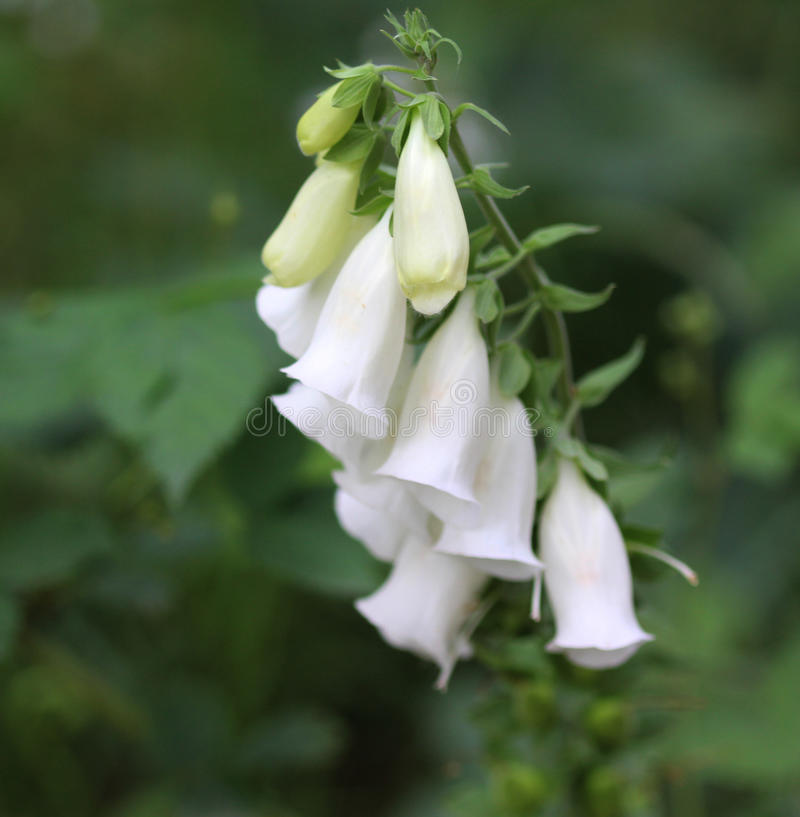 Digitalis purpurea. Closeup of white digitalis purpurea in the forest royalty free stock photo