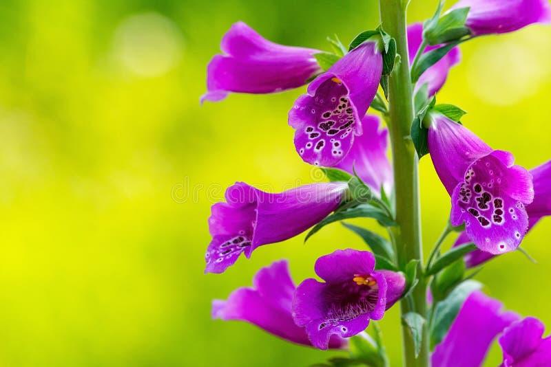 Digitalis purpurea della digitale nel giardino immagini stock libere da diritti